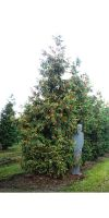 Thuja plicata Excelsa - Riesen Lebensbaum