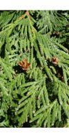 Thuja plicata Excelsa  - Red Cedar