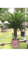 Cycas revoluta - Japanischer Palmfarn