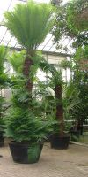 Cycas rumphii - Palmfarn