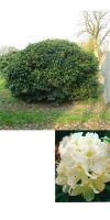 Rhododendron - Cunninghams White
