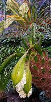 Phoenix roebelenii - Zwergdattelpalme