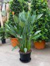 Strelitzia regineae - Pardiesvogelblume, Zimmerpflanze