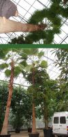 Washingtonia robusta - Petticoat-Palm XXL
