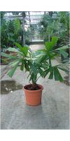 Licuala spinosa - Strahlenpalme