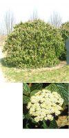Viburnum rhytidophyllum - Immergrüner chinesischer Schneeball