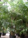 Caryota mitis - Fischschwanzpalme, Großpflanze XXL