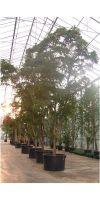 Bucida buceras - Black Olive, Großbaum für den Innenraum