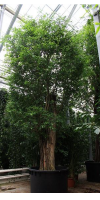Ficus benjamina - Benjamin tree/Weeping fig