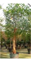 Ficus elastica Decora - Indian rubber tree