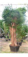 Ficus lanceolata syn. Allii