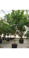 Ficus lyrata - Fiddleleaf fig