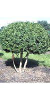 Buxus sempervirens arborescens - Buxusbaum