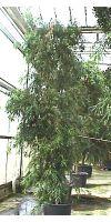 Podocarpus gracilor – Weeping Podocarpus/Fern Podocarpus