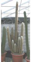 Espostoa lanata - Kaktus