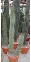 Marshallocereus thurberi - Kaktus