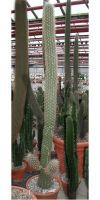 Oreocereus celsianus - Kaktus