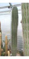 Pachycereus pringlei - Kaktus