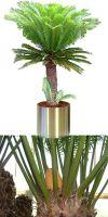 Cycas revoluta im Edelstahlgefäß