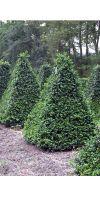 Buxus sempervirens arborescens - Buchs- Pyramide