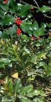 Ilex aquifolium Sharpy - Common Holly