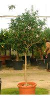 Murraya paniculata - Orangenraute