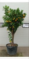 Citrus sinensis - Orange tree