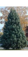 Abies concolor - Colorado fir, White Fir