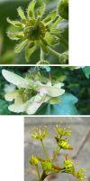 Acer campestre - Feldahorn