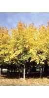 Acer cappadocicum `Rubrum`