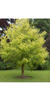 Acer negundo Aureo Variegatum - box elder; ashleaf maple