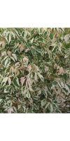 Acer negundo Aureo Variegatum - Eschen-Ahorn