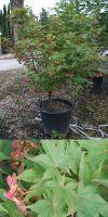 Acer palmatum  -  japanischer Fächerahorn in Sorten