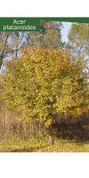 Acer platanoides - Spitzahorn