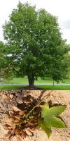 Acer pseudoplatanus - Bergahorn