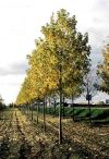 Acer saccharinum - silver maple