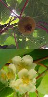 Actinidia chinensis - Kiwi, winterfest