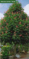 Aesculus carnea `Briotii` - red horse-chestnut