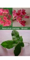 Aesculus carnea Briotii - Blut-Rosskastanie