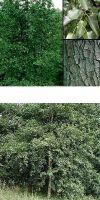 Alnus cordata - Italian alder