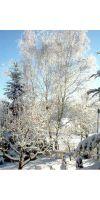 Betula alba - Silver birch