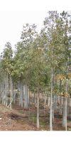 Betula alba - Weiß-Birke