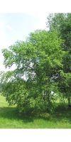 Betula utilis - Himalaja-Birke