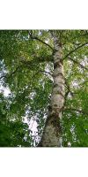 Betula verrucosa `Youngii` - Silver Birch