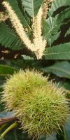 Castanea sativa - Sweet Chestnut