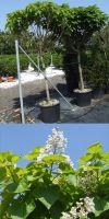 Catalpa bignonioides - Trompetenbaum