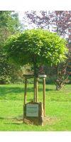 Catalpa bignonioides Nana - Kugel Trompetenbaum