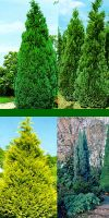 Chamaecyparis lawsoniana - Lawson Falsecypress