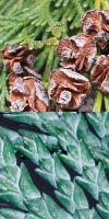 Chamaecyparis lawsoniana -  Blaue Gartenzypresse, Lawsons Schein