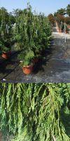 Chamaecyparis nootkatensis Pendula - Hänge-Alaskazypresse